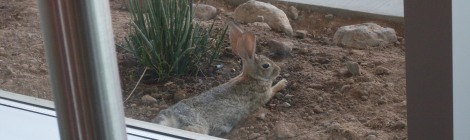 アリゾナのウサギ