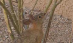 コットンテール(野ウサギ)が庭のモスキーの木を食べているところ