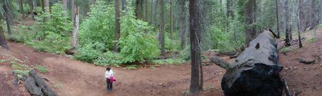 パノラマ写真で見たセコイアの森