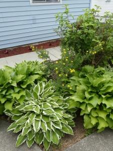 ホステスの葉が大きく茂る庭の画像