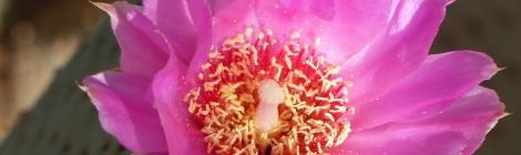 ピンク色のサボテンの花