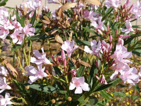 悲しみにくれてばかりで、水をあげることを忘れていたのにけなげにも花を咲かせてくれた裏庭のオリエンダーです。