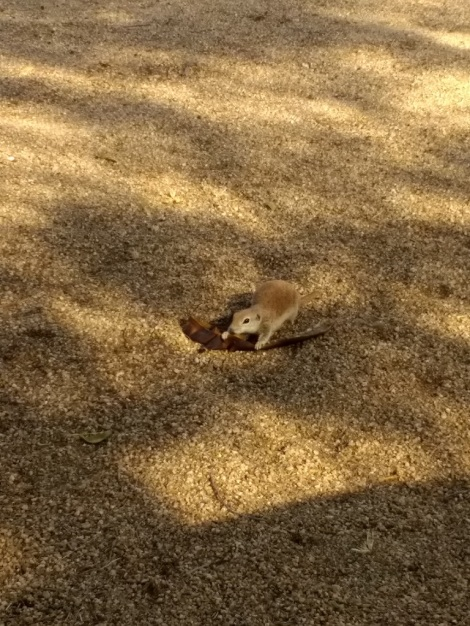 ground squirrel with banana