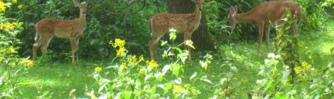 オハイオの鹿
